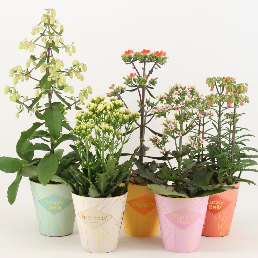 Specialty Kalanchoe by Vilosa