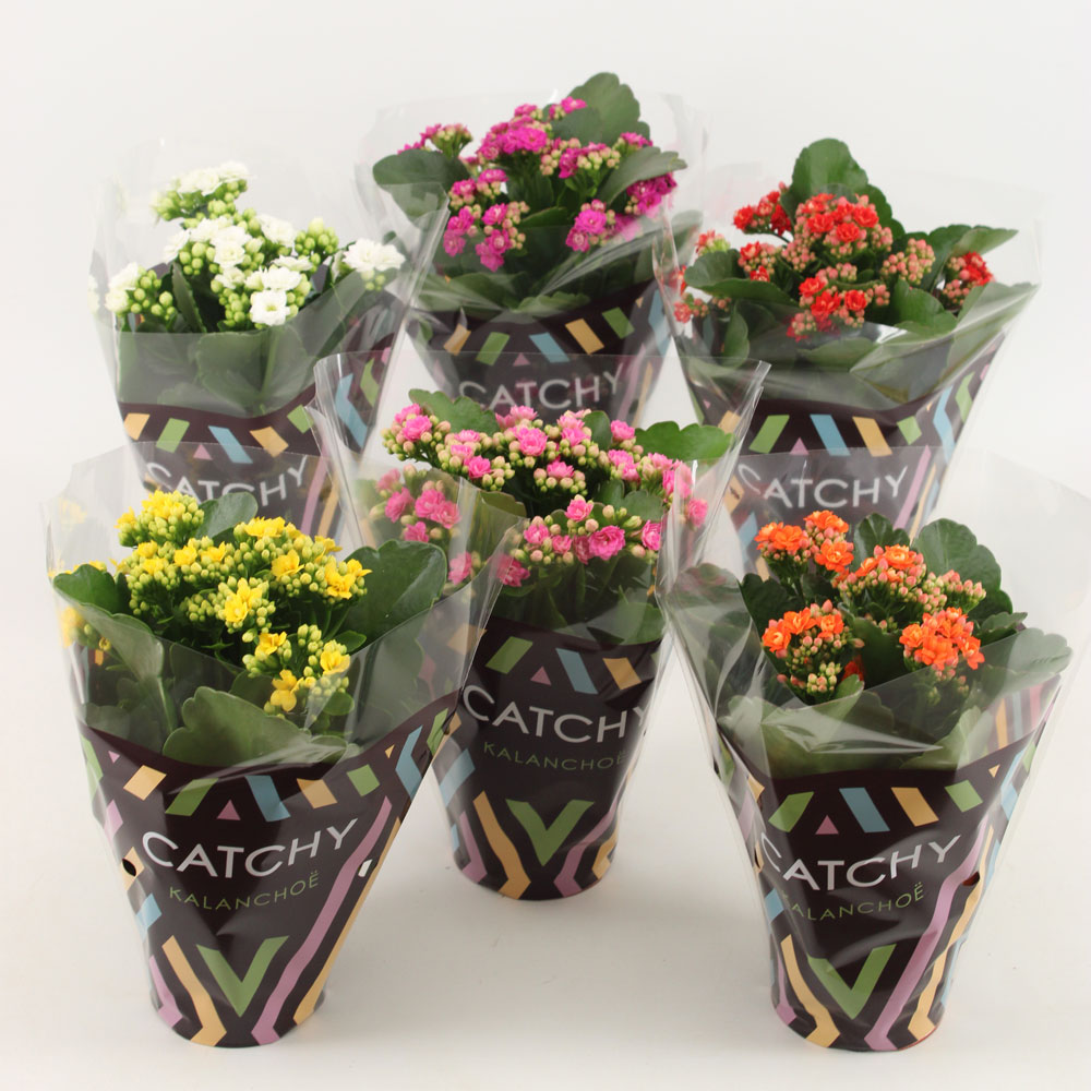 Catchy Basic kalanchoe by Vilosa