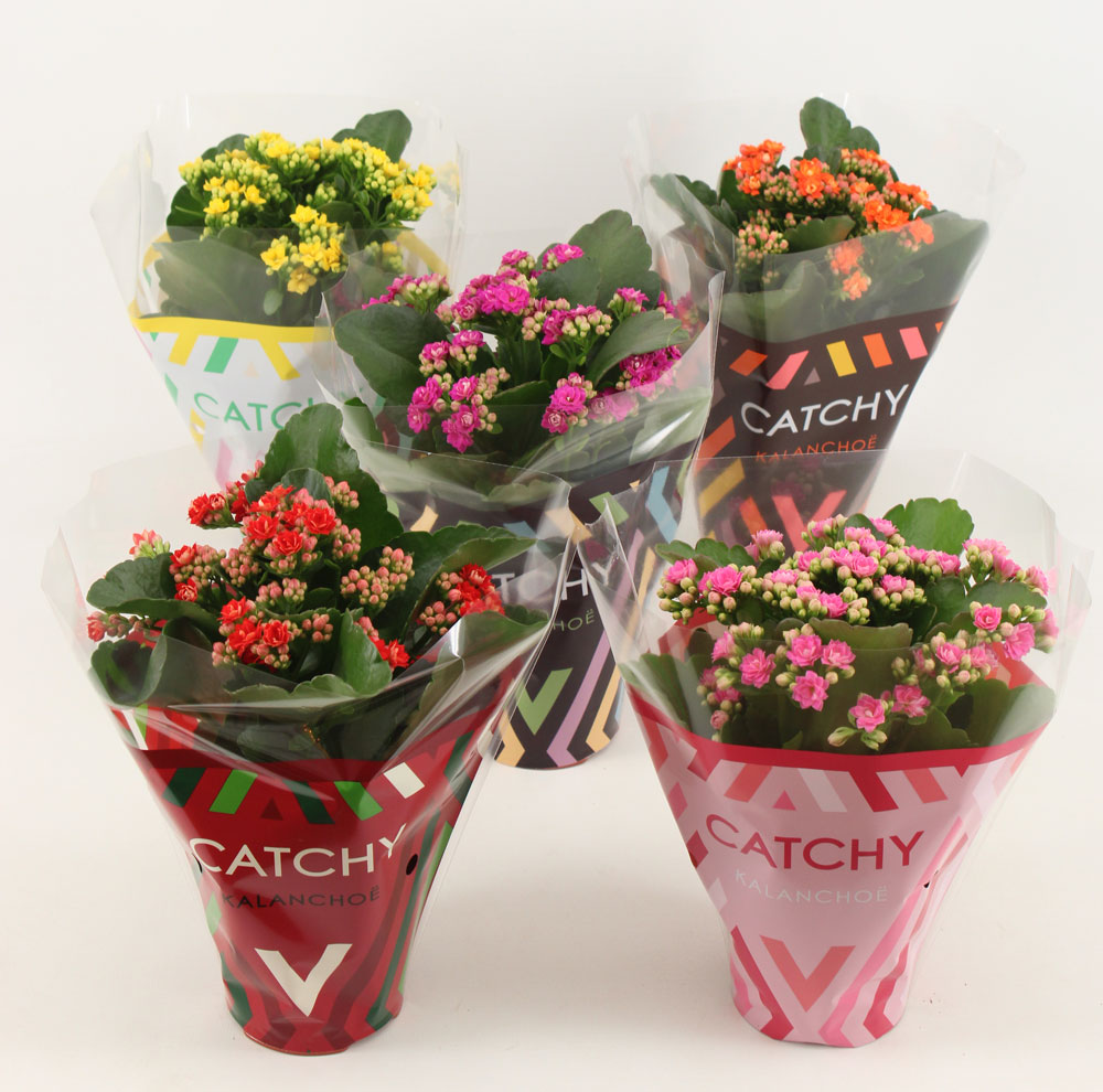 Catchy Moments kalanchoe by Vilosa