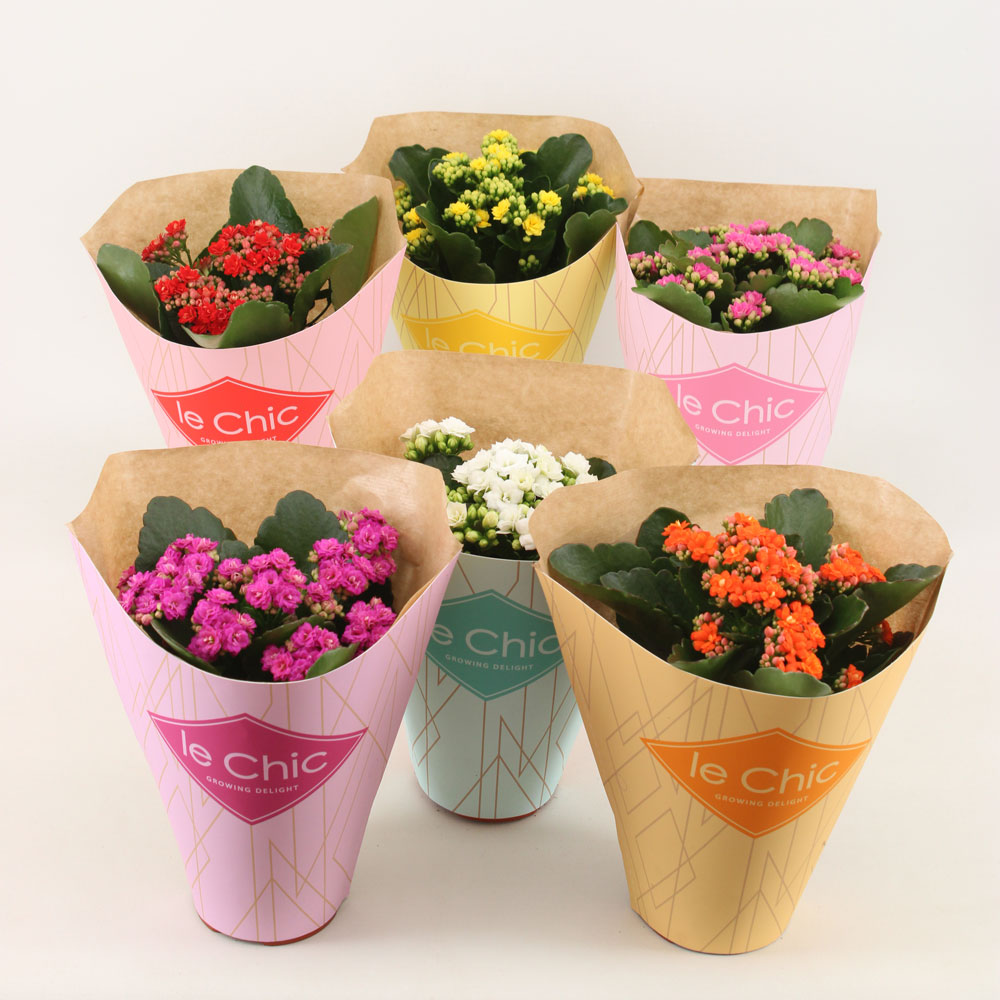 Le Chic ECO kalanchoe by Vilosa
