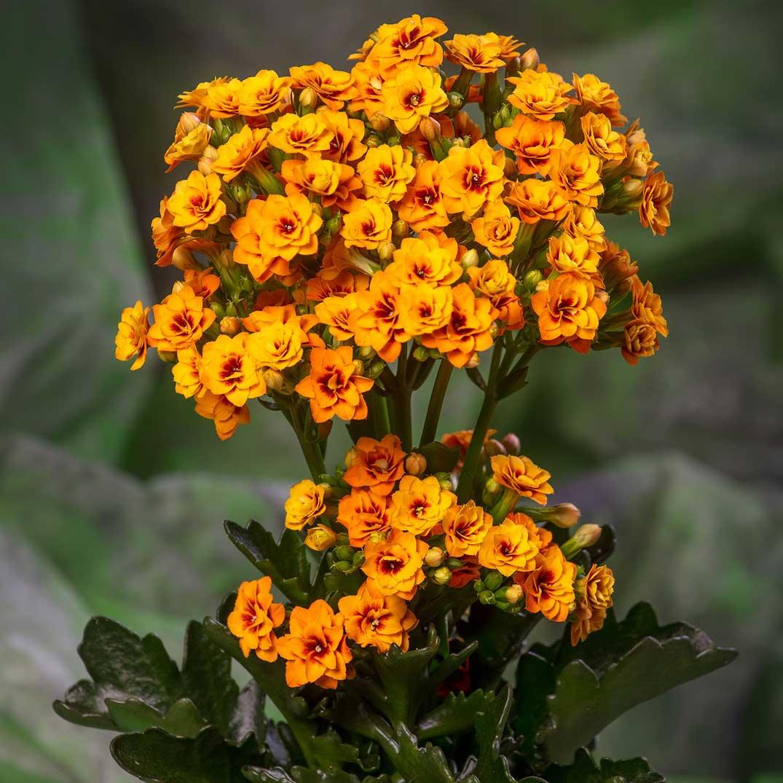 Kalanchoe Exotic Orange by Vilosa