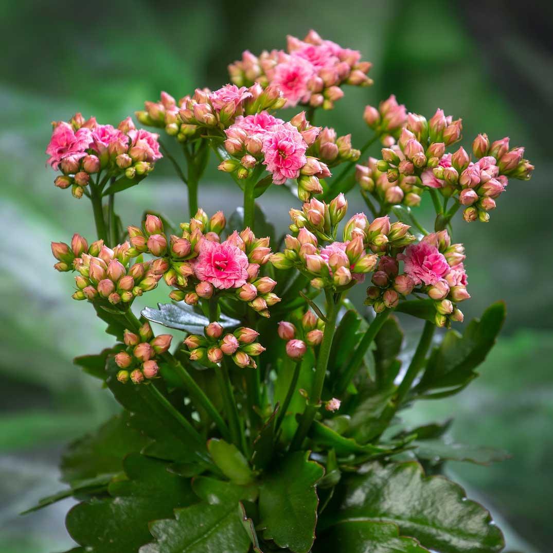 Kalanchoe Sunny Brushed Pink by Vilosa